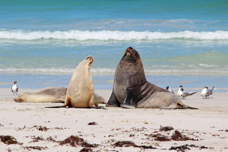 Download Sea lions stock image. Image of horizontal, australian - 25613997