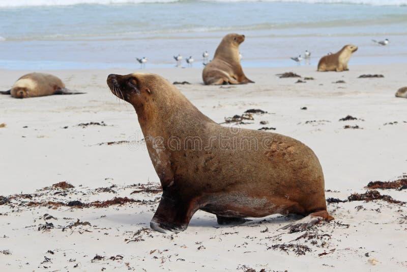 Download Sea lions stock image. Image of pinniped, coast, cinerea - 25614185