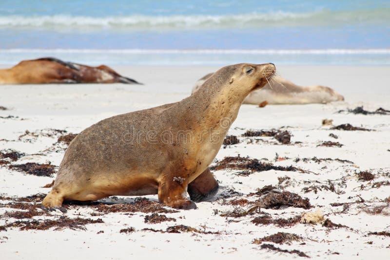 Download Sea lions stock photo. Image of otariidae, kangaroo, coast - 25614754