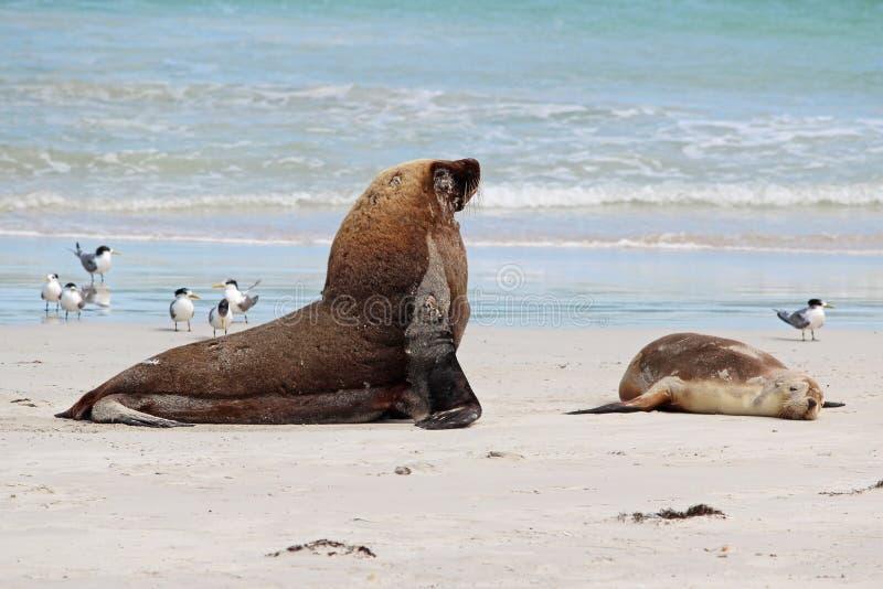 Download Sea lions stock image. Image of heavy, animal, mammal - 25614833