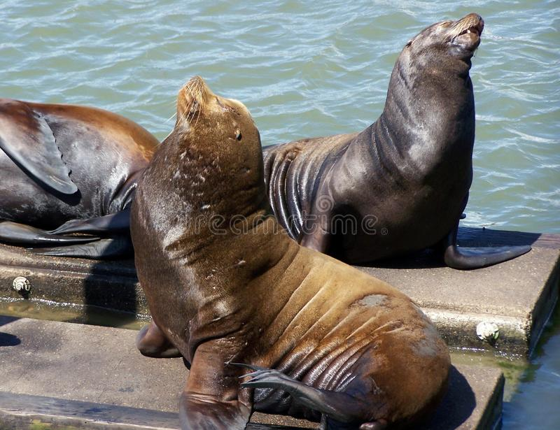 Download Sea Lions stock photo. Image of lion, marine, pier, mammals - 26550014