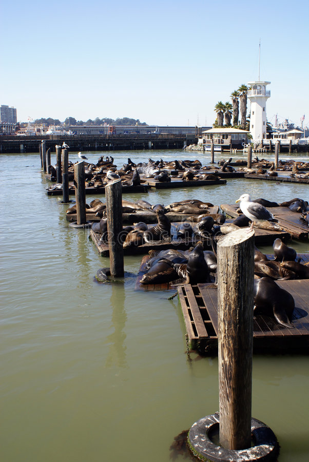 Free Sea Lions Stock Images - 3344414