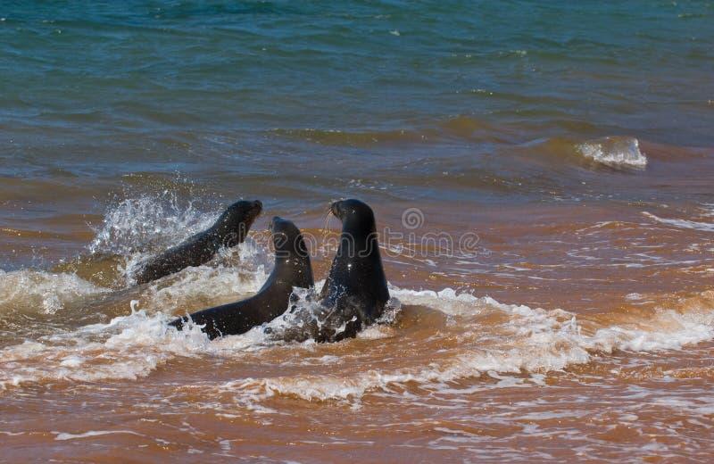 Sea lions. Three sea lions playing, galapagos islands, ecuador stock photography