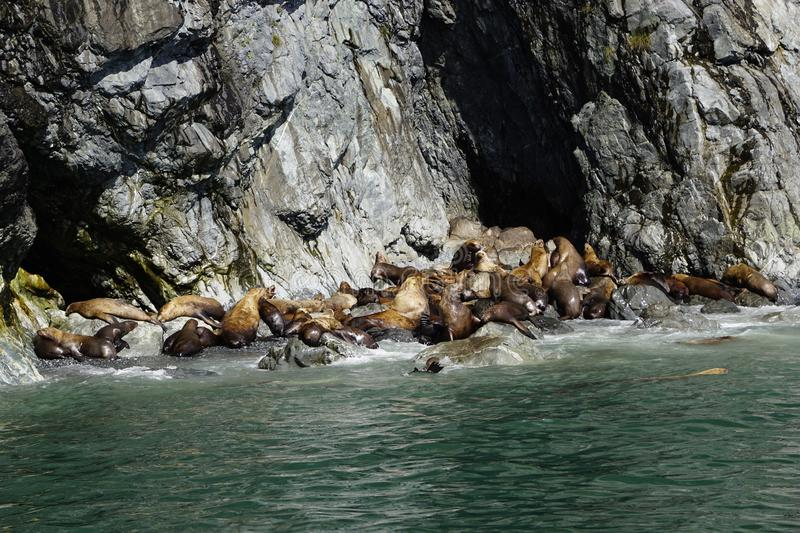 Sea Lions in Alaska stock photos
