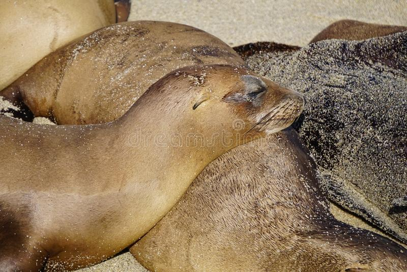 A Group of Sea Lions. Sea Lions basking in the sun sleeping on the ocean sands of the beach on the California Coast stock image