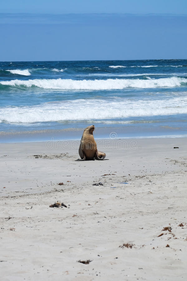 Sea lions on the beach stock image