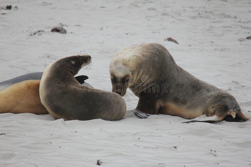 Sea Lions. On the beach on Kangaroo Island, Australia royalty free stock image