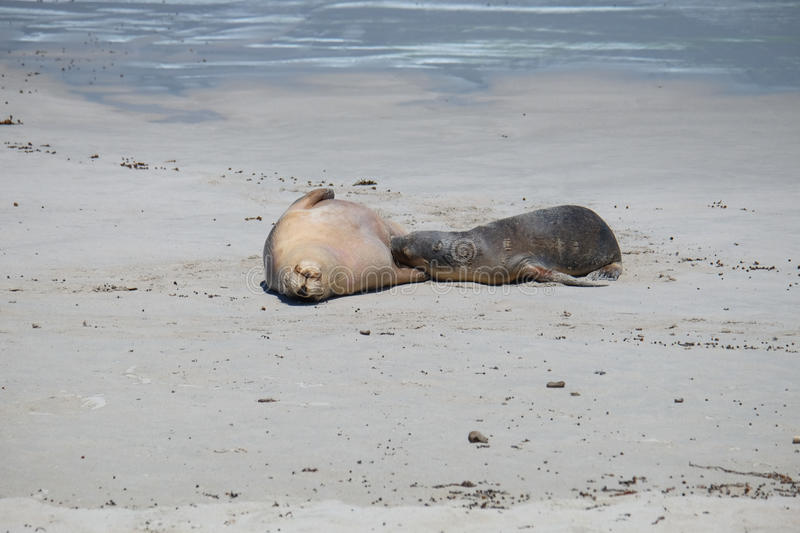 Sea lions on the beach at kangaroo island stock image