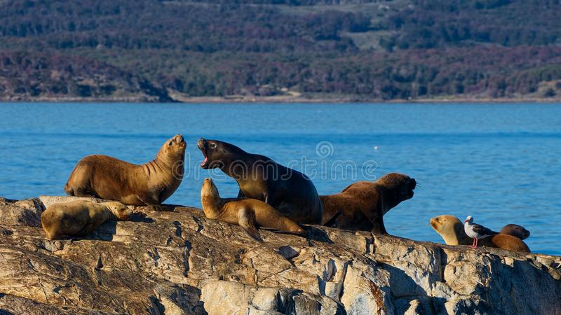 Sea lions in the Beagle Channel, between Argentina and Chile royalty free stock photo