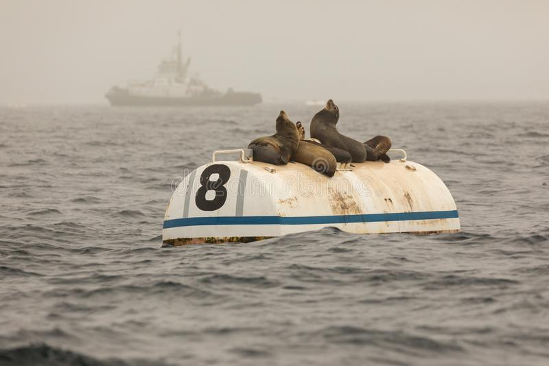 Sea lions on a buoy royalty free stock photography
