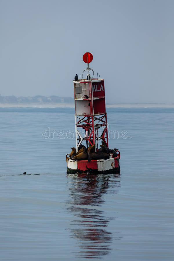Sea lions on channel buoy. Sea lions crowded together on red and white channel bouy stock photo