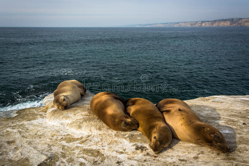 Sea lions on cliffs overlooking the Pacific Ocean, in La Jolla,. California royalty free stock image