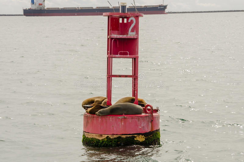 Sea Lions Cuddle on a Buoy in the Long Beach Harbor. A group of sea lions basks in the warmth of the California sun on a red buoy royalty free stock photography