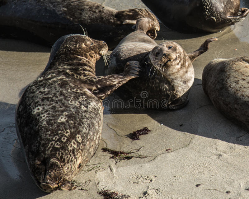 Download Sea Lions stock photo. Image of waves, california, life - 37442000