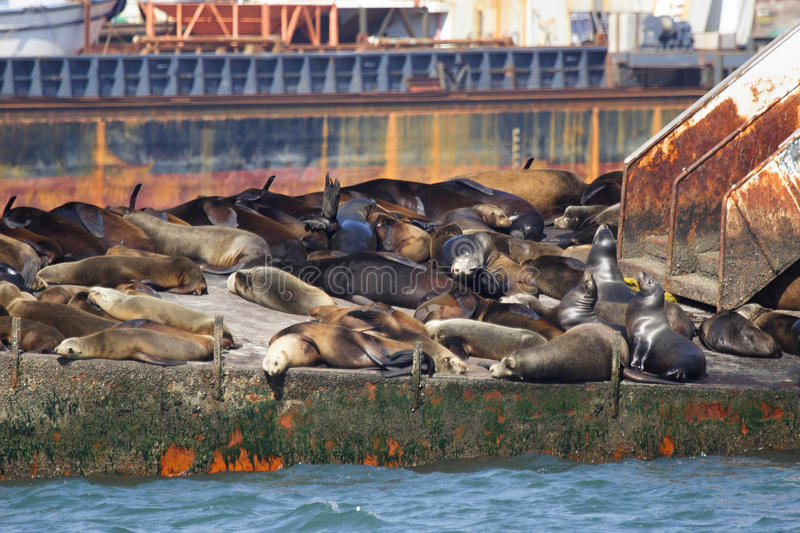 Sea lions, Ensenada. A group of sea lions are resting on an old abandoned ship in the bay of Ensenada in Mexico stock photos