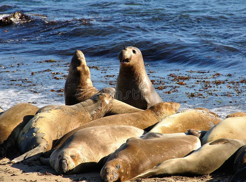 Sea-lions Fighting While Others Are Sleeping, On The Beach Stock Photos
