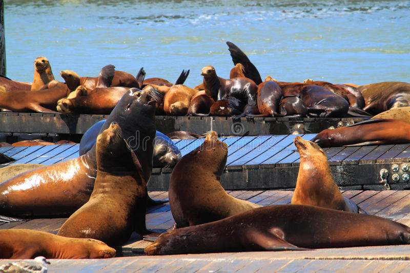 Sea Lions Group. A large group of sea Lions resting on pier stock image
