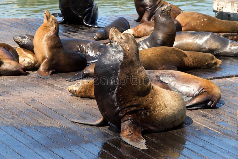 Sea Lions hauled out on wood platforms. Rather than remain in the water, pinnipeds haul-out onto land or sea-ice for reasons such as reproduction and rest stock image