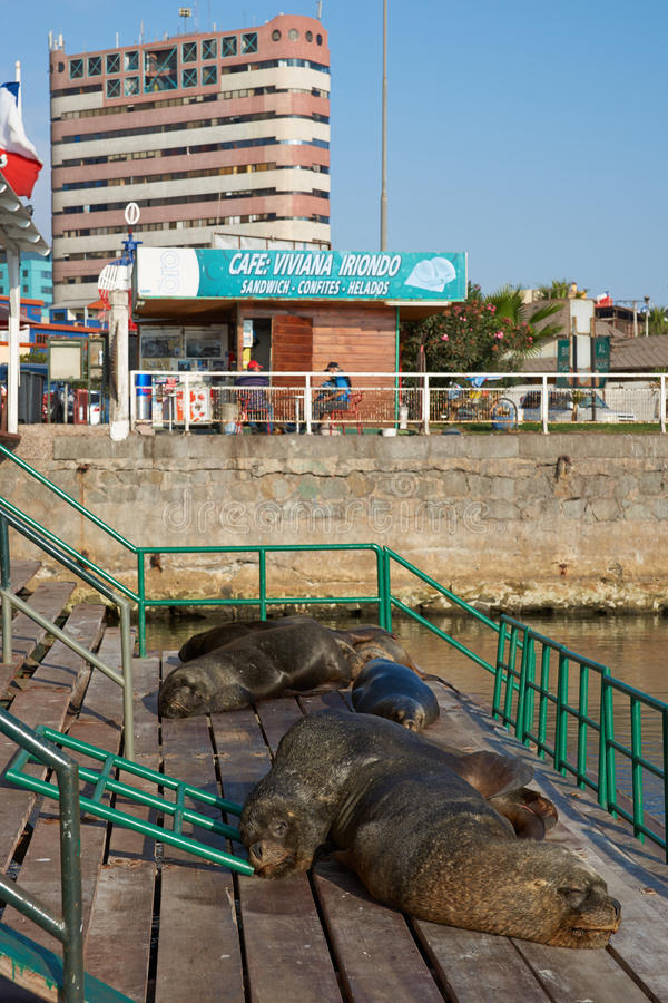 Free Sea Lions In Iquique Harbour. Royalty Free Stock Image - 57501646