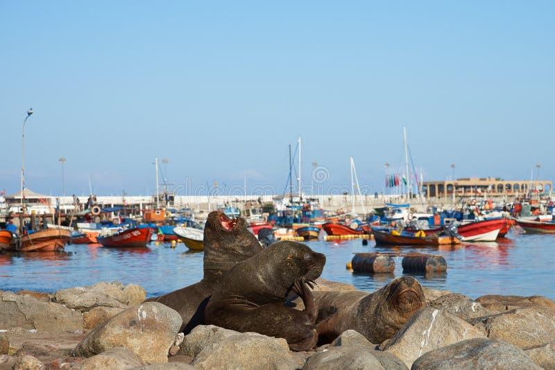 Sea Lions in Iquique Harbour stock images
