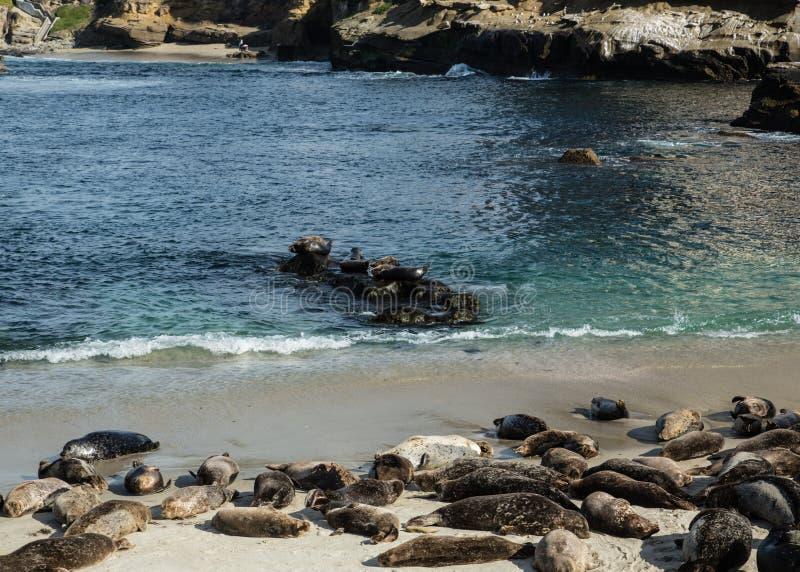 Sea Lions In La Jolla Cove Stock Photo