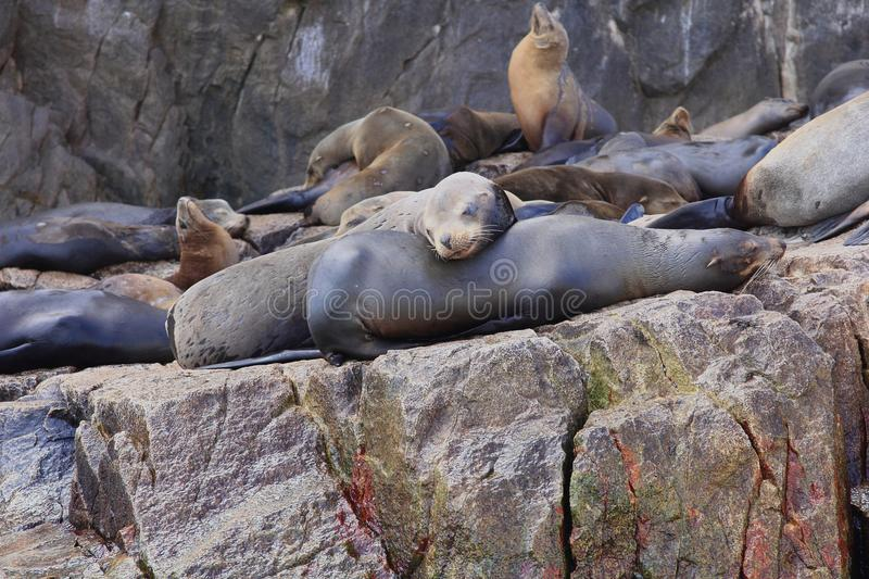 Sea Lions at Land's End Cabo San Lucas. Sea Lions basking in the sun at Land's End on the rocks near Lover's Beach in Cabo San Lucas stock photos