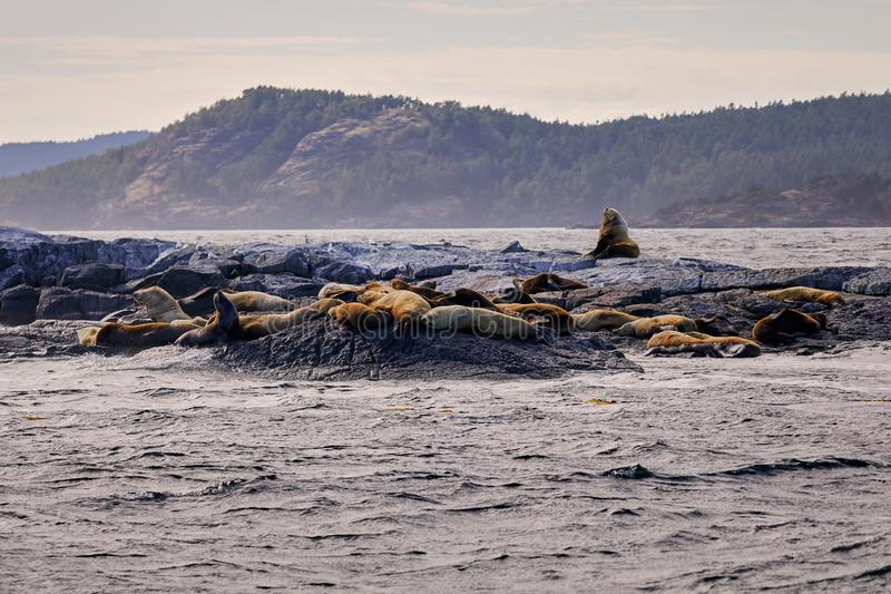Sea Lions laying in the sun on the rocks near Victoria British Columbia stock photos