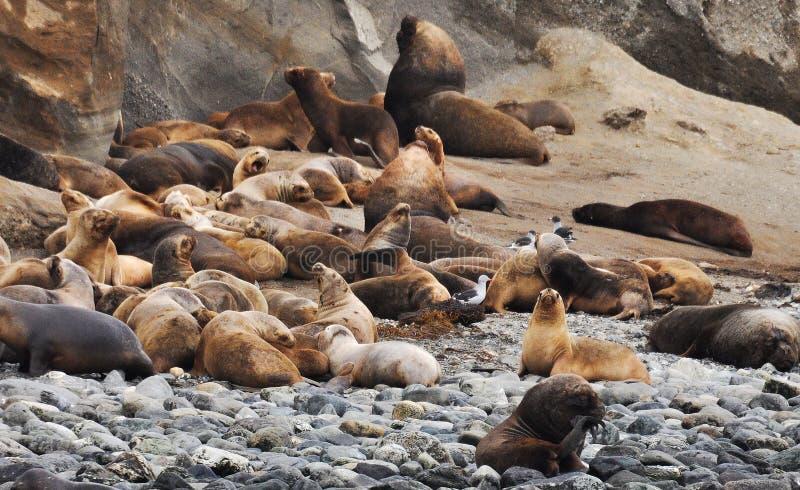 Sea Lions Lot Free Public Domain Cc0 Image