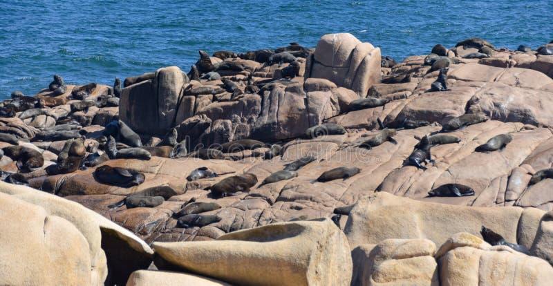 Sea lions lying down on rocks stock photo