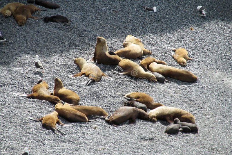Sea lions. Lying on the ocean shore. Group of  on the rocky beach of Atlantic ocean, relaxing on the sun. Sea lion family stock photography