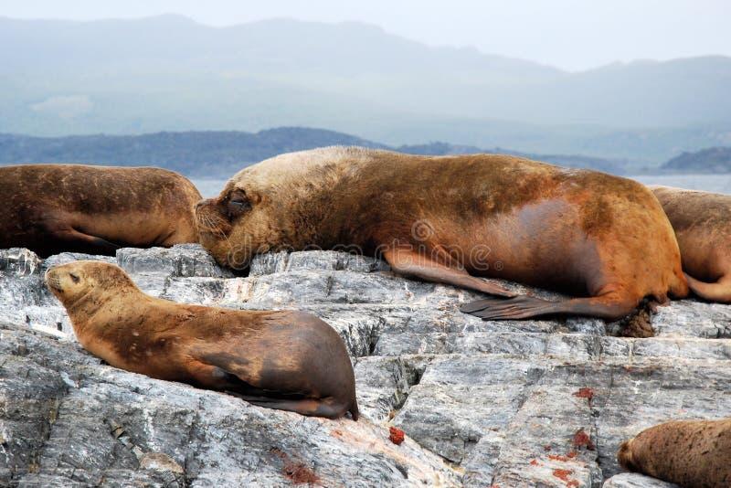 Sea Lions lying on rock with big male, Bay of Ushuaia, Argentina. Sea Lions lying on rock with big male, Isla de los Lobos - Sea Lions Island, Beagle Channel royalty free stock image