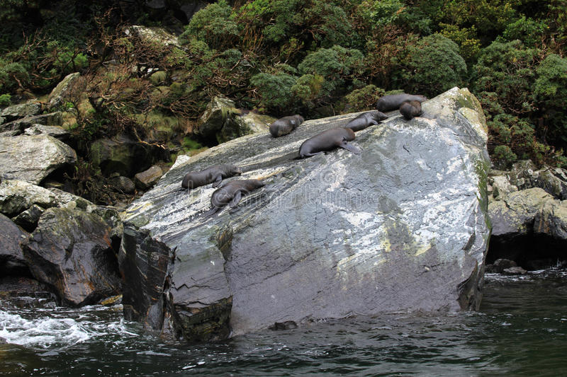 Sea lions at Milford Sound royalty free stock photography
