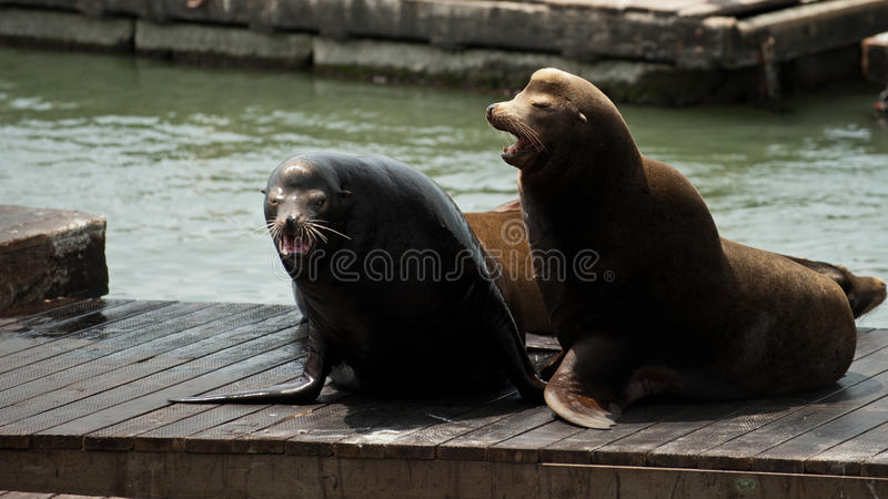 Download Sea Lions at Pier 39 stock photo. Image of lion, life - 24919658