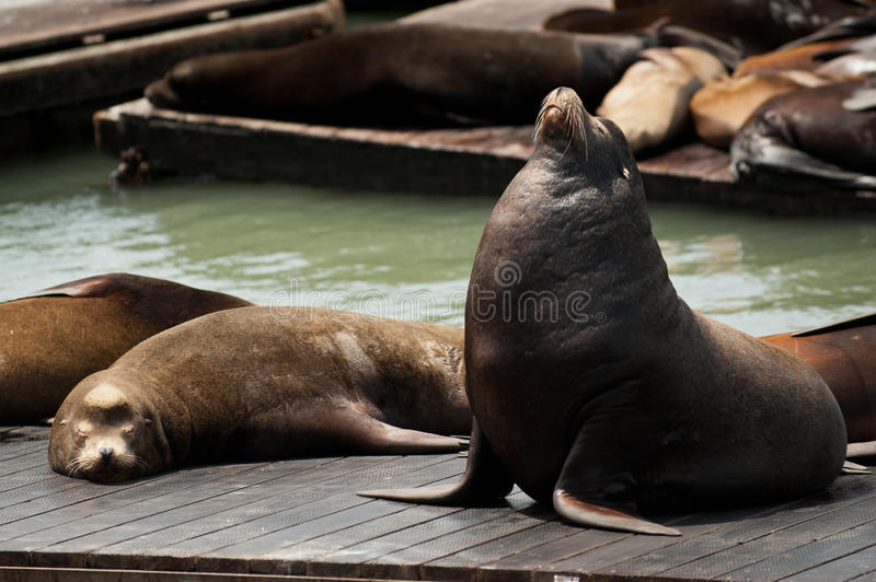 Download Sea Lions at Pier 39 stock photo. Image of lion, ocean - 24919678