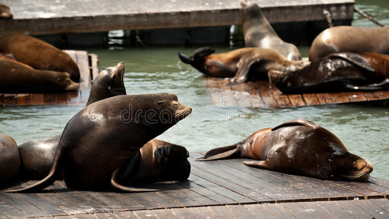 Download Sea Lions at Pier 39 stock photo. Image of moustache - 24919694