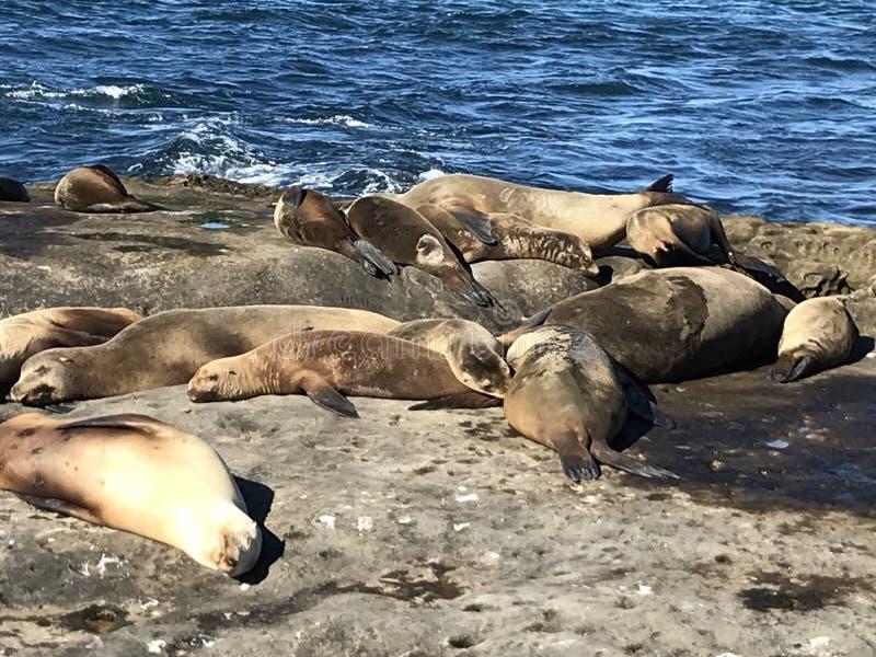 Sea lions sleeping on a rocky shore. Sea lions pinnipeds sleeping on a rocky shore, La Jolla Cove, La Jolla Point near San Diego California. Marine sea life stock image