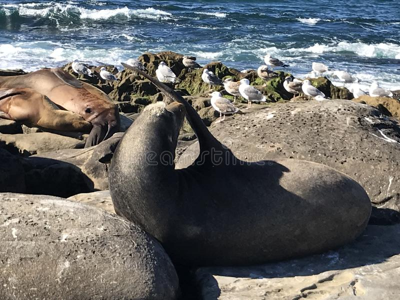 Sea lions sleeping on a rocky shore. Sea lions pinnipeds sleeping on a rocky shore, La Jolla Cove, La Jolla Point near San Diego California. Marine sea life royalty free stock photography