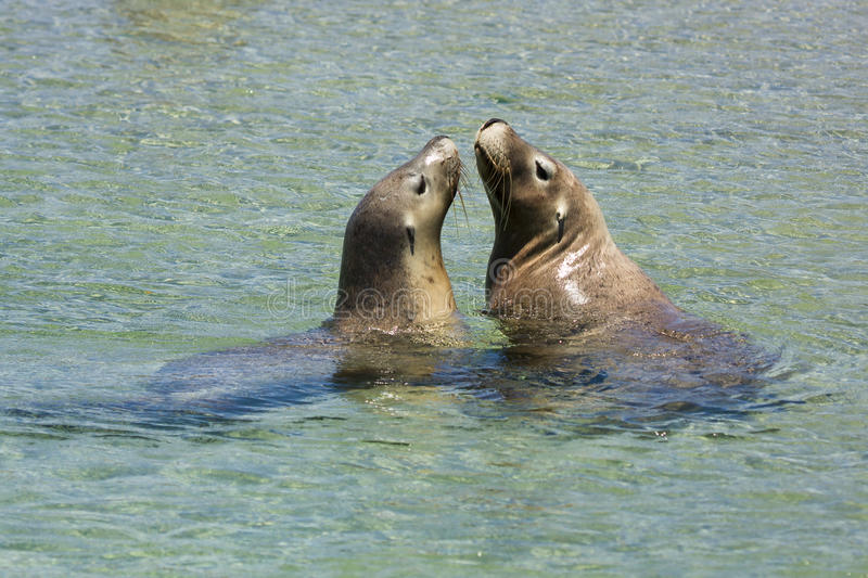 Sea lions playing royalty free stock photos