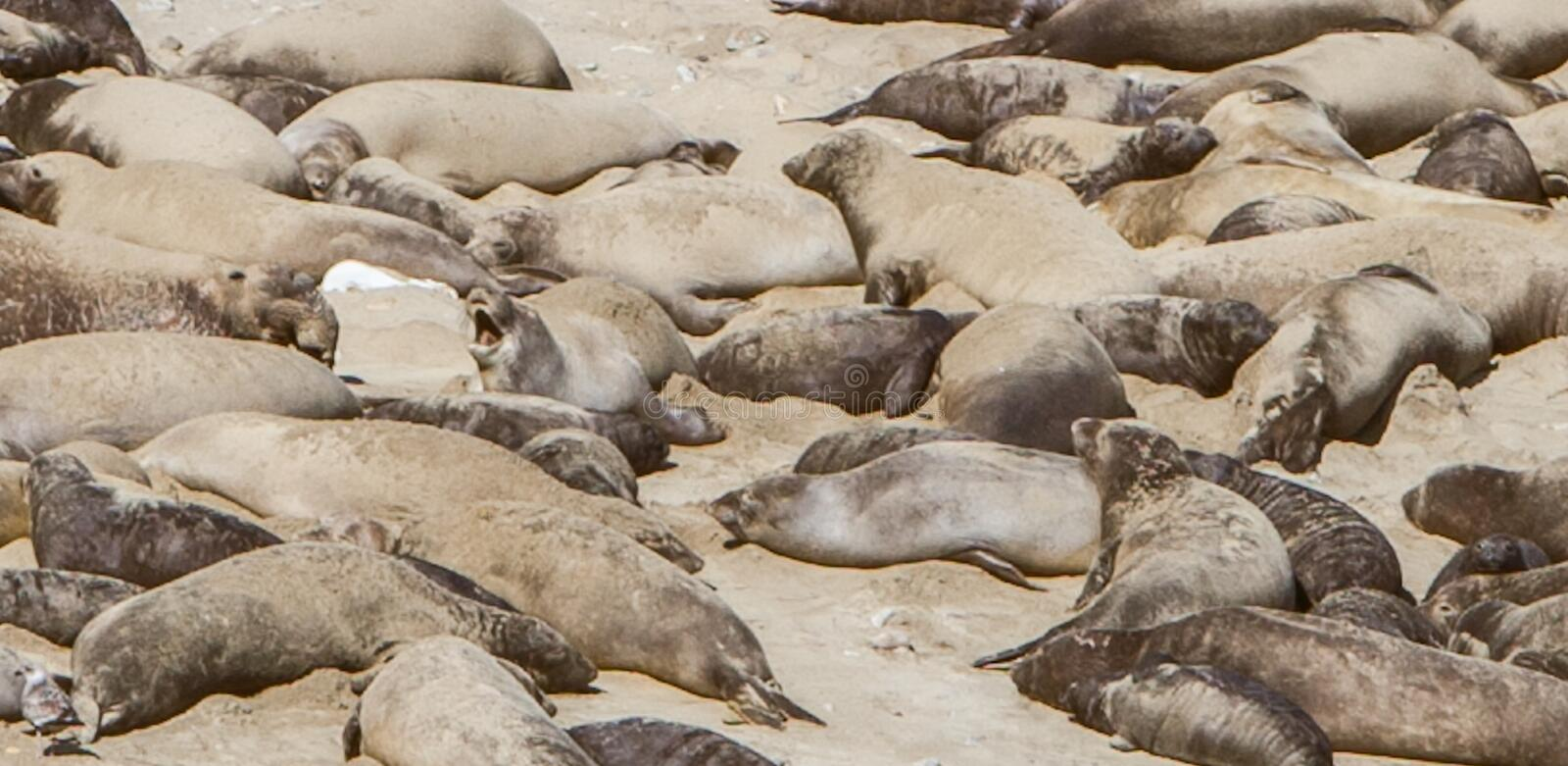 Sea lions sleeping beach. Point Reyes, United States - February 18, 2012 : sea lions laying on the pacific coast beaches relaxing in the sun. A baby is crying stock photography