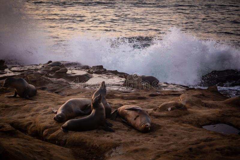 Sea lions resting on the rocks royalty free stock photo
