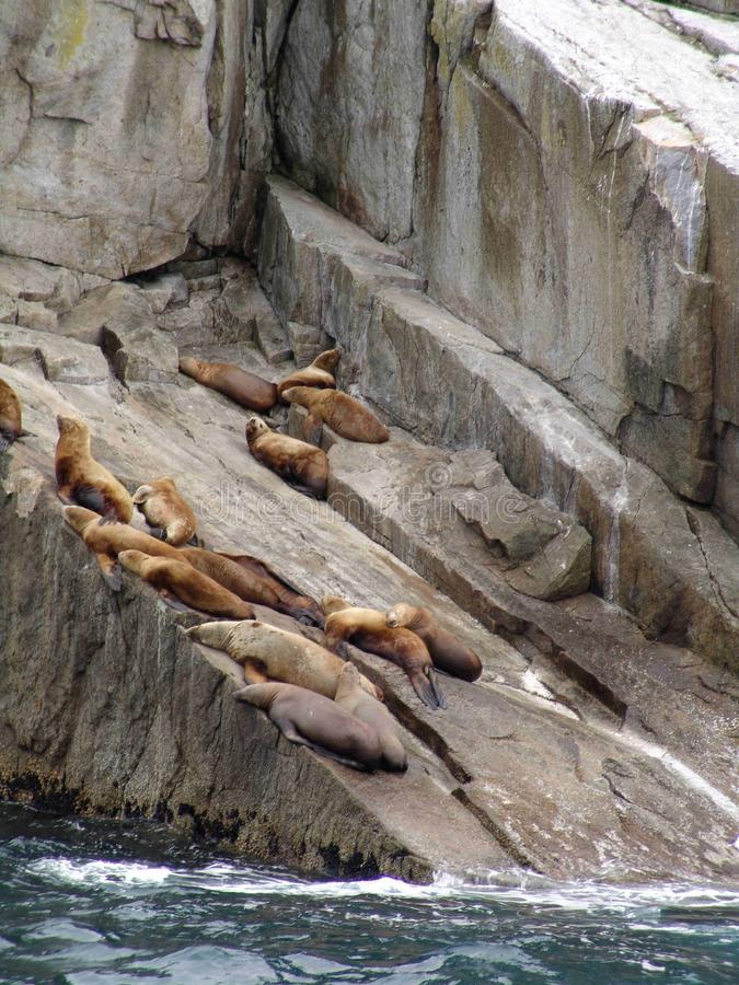 Download Sea lions on rock stock image. Image of beached, animal - 12259937