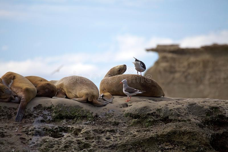Sea Lions and seagulls on the rock in the Valdes Peninsula, Atlantic Ocean, Argentina stock photography