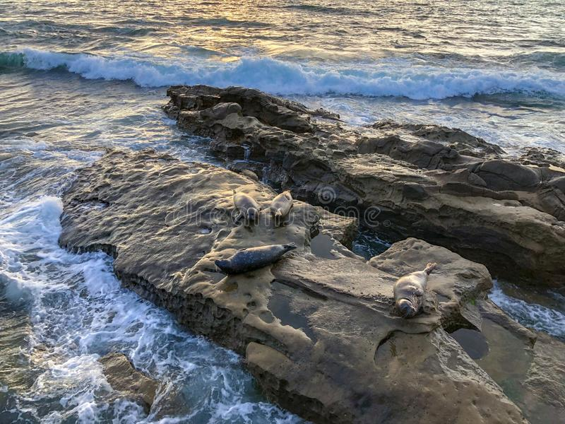 Sea lions & seals napping on a rock under the sunset stock image