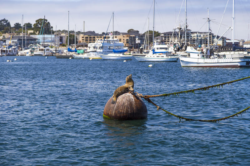 Sea lions and seals on the pier in Monterey, California stock image
