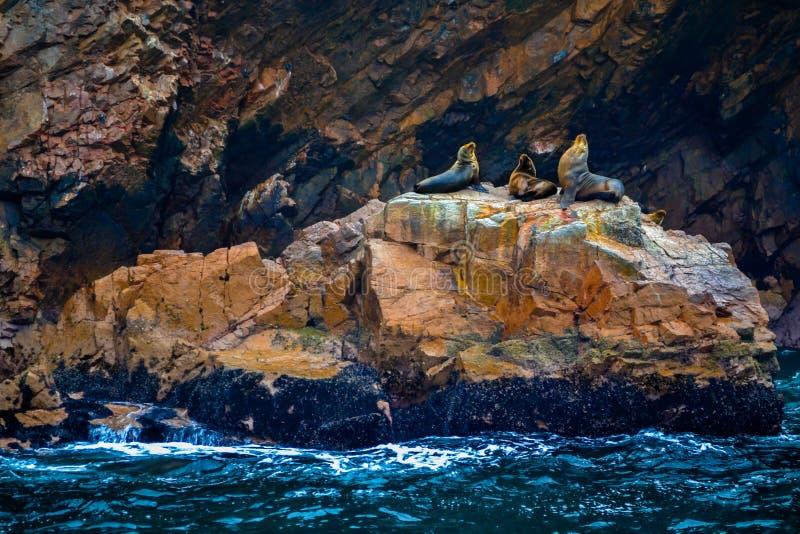 Sea lions sleeping royalty free stock image