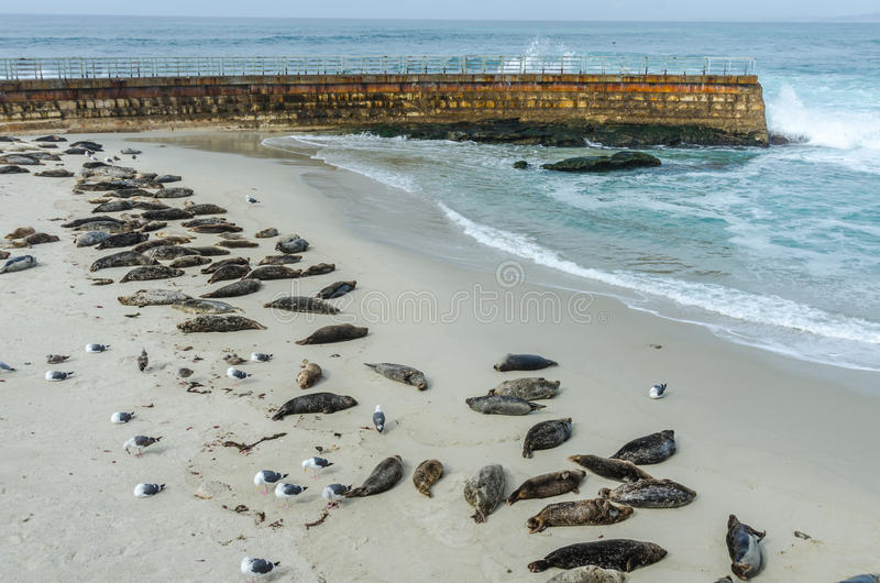 Sea Lions Sleeping on the Protected La Jolla Cove stock photo