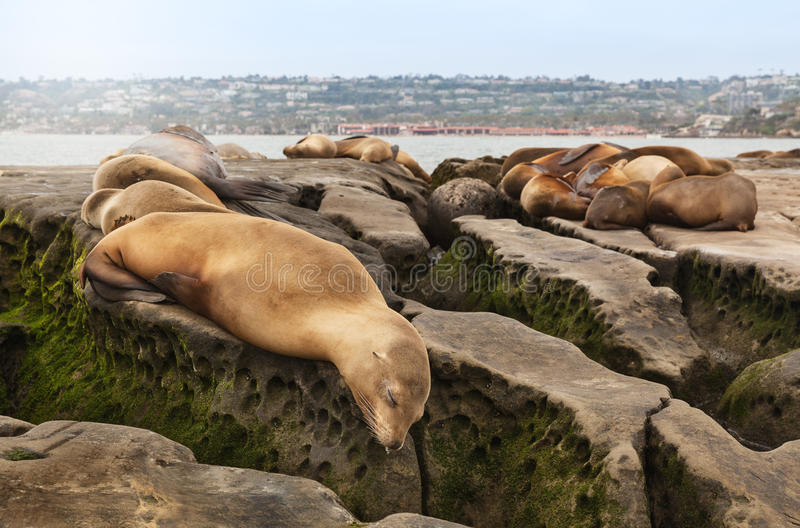 Sea Lions sleeping on rocky beach stock photography