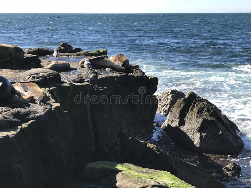 Sea lions sleeping on a rocky shore. Sea lions pinnipeds sleeping on a rocky shore, La Jolla Cove, La Jolla Point near San Diego California. Marine sea life stock photography