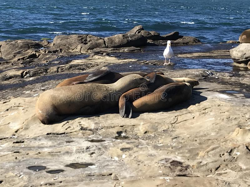 Sea lions sleeping on a rocky shore. Sea lions pinnipeds sleeping on a rocky shore, La Jolla Cove, La Jolla Point near San Diego California. Marine sea life stock images