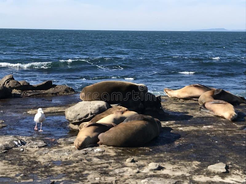 Sea lions sleeping on a rocky shore. Sea lions pinnipeds sleeping on a rocky shore, La Jolla Cove, La Jolla Point near San Diego California. Marine sea life stock photos
